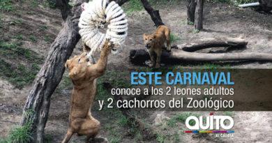 La manada de leones está completa en Guayllabamba