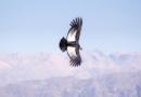 7 de julio día nacional del Cóndor andino